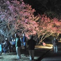 県道沿いにライトアップされたヒカンザクラ=1月31日、龍郷町秋名