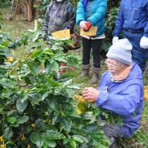 収穫作業を行った徳之島コーヒー生産者会の研修会=24日、伊仙町