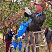 産地支援の一環で、タンカンの収穫作業を行うツアー参加者=16日、奄美市住用町