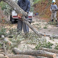 シイタケの栽培に使うイタジイの伐採作業=3日、瀬戸内町古仁屋