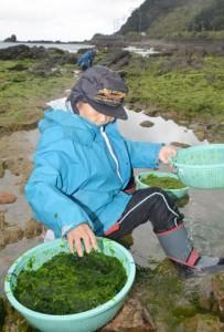 シーズンを迎えた早春の風物詩・アオサ摘み=23日、奄美大島北部の浜辺