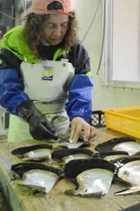 浜揚げしたマベ貝から真珠部分を取り外す従業員=12日、瀬戸内町三浦