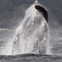 奄美大島周辺海域での出現確認数が過去最多になったザトウクジラのジャンプ=3月5日、奄美市名瀬の大浜海浜公園沖