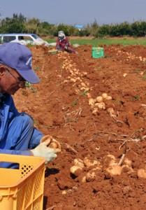 バレイショの掘り取り作業に汗を流す生産者ら=20日、和泊町