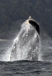 奄美大島で繁殖の最盛期を迎えたザトウクジラのジャンプ=5日午後、奄美市名瀬の大浜沖