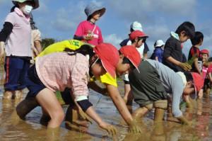 力を合わせて苗を植える子どもたち=8日、和泊町の大城小学校