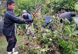 押角集落で行われた寄主植物の伐採作業=11日、瀬戸内町