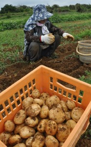 最盛期を迎えたバレイショの収穫作業=16日、伊仙町