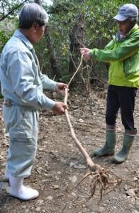 林道で伐採されたオオシマガンピを確認する関係者ら=2日、徳之島