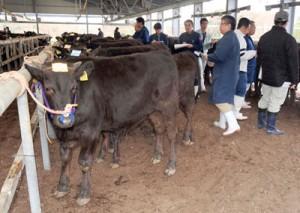 1戸当たりの頭数増が続く中、飼養や生産へ農家の負担削減が求められる肉用牛。写真は2016年1月の子牛競り市=奄美市笠利町