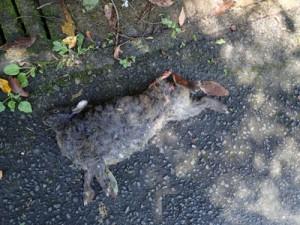 車にはねられたとみられるクロウサギの雌=17日、奄美市住用町