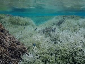 大規模な白化現象が確認されたミドリイシ属の群落=4月26日、徳之島町の畦海岸(池村茂さん撮影)