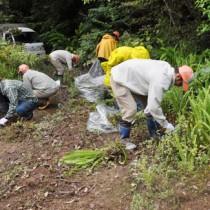 外来植物ムラサキカッコウアザミ(円内は花)の除去作業を行う奄美マングースバスターズら=28日、奄美中央林道の「きょらむん橋」