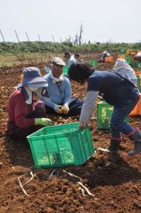 青空の下、バレイショ収穫に精出す家族=2日、知名町