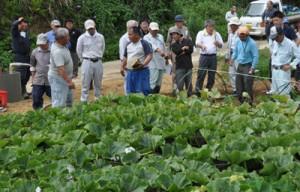 カボチャの実証ほ場であった畑かん営農推進現地研修会=26日、伊仙町