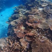 16年度から5カ年の生態系保全計画が策定されたサンゴ礁=15年12月、瀬戸内町の大島海峡