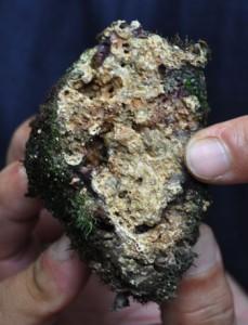 採取した微生物岩(スロンボライト)