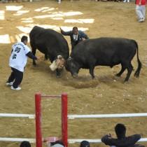 闘牛大会などで盛り上がった「徳之島きびまつり」=17日、伊仙町