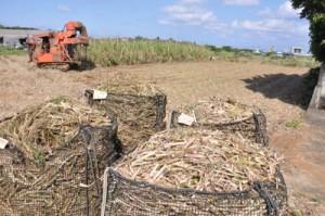 収穫作業が続くサトウキビ畑=1日午後、和泊町
