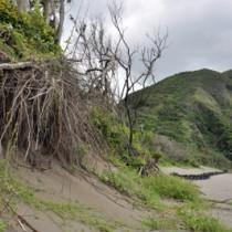 浸食で防風林の根がむき出しになり倒れた嘉徳海岸= 28日、瀬戸内町