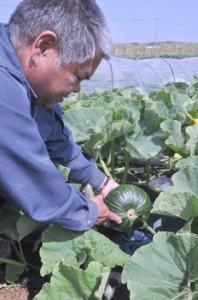 ダムの水を利用してカボチャの早生品種の栽培に取り組む太田淳一さん=伊仙町