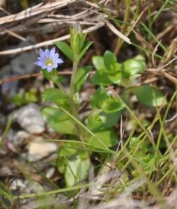 東部海岸の岩場で見られたリュウキュウコケリンドウ(花は直径数㍉)