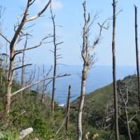 喜界島と与論島を除く奄美全域に広がる松枯れ被害=2016年2月、奄美大島北部