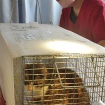 不妊手術を行うため捕獲された野良猫=17日、徳之島町