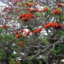 数本が花を咲かせている諸鈍のデイゴ並木=15日、瀬戸内町加計呂麻島・諸鈍