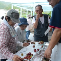 収穫の目安となる果実の色合いなどを確認した奄美プラムの目ぞろえ会=26日、大和村湯湾釜