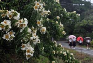 梅雨期の通学路を彩るイジュの花=16日、徳之島