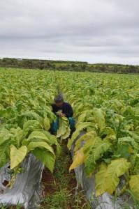 畑の中を移動しながら葉を収穫する農家=20日、知名町住吉