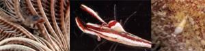 (左から)①ウミシダに寄生するゴカイの一種②コエビ類にすみ着く甲殻類の仲間③ウニ類に付着する巻き貝の一種=(いずれも上野さん提供)