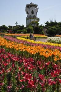 見頃を迎えたスカシユリの花園(上)と来期に向けて花の摘み取り作業が進む球根ほ場=5日、和泊町の笠石海浜公園