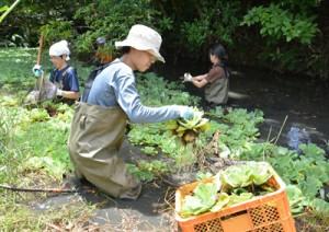 龍郷町浦の池に繁殖した特定外来生物ボタンウキクサの駆除作業=21日、龍郷町