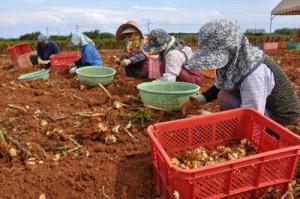畑からテッポウユリの球根を掘り取る女性ら=8日、知名町屋者