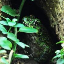 今年は早々と奄美自然観察の森に出現したアマミイシカワガエル=龍郷町の長雲峠