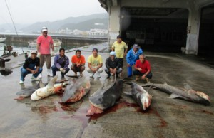 名瀬地区漁業集落の駆除活動で網に掛かったサメ=14日、奄美市名瀬(提供写真)