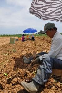 日よけのパラソルの下でサトイモ収穫に精出す農家=6日、和泊町大城