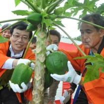 収穫祭でパパイアの実にはさみをいれる(左から)ダイエーの近澤靖英社長と生産者の熊元与八郎さん=11日、徳之島町