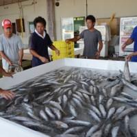 超低酸素の海水で魚を処理する組合員と奄美漁協職員=22日、奄美市笠利町