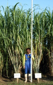 奨励品種に選ばれた農林27号(左)と農林8号=県農産園芸課提供