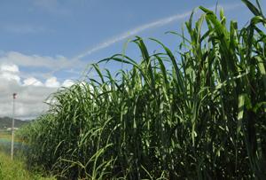 徳之島ダムを水源とする畑地かんがい施設の運用が始まった畑=6月29日、天城町