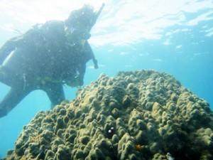 黒潮の流量調査で骨格コアが採取された高知県土佐清水市沖の造礁サンゴ(喜界島サンゴ礁科学研究所)