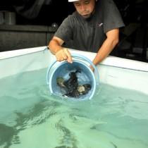 移動水槽から海上いけすへと移されるタマカイの稚魚=8日、瀬戸内町花天の近畿大学水産研究所奄美実験場