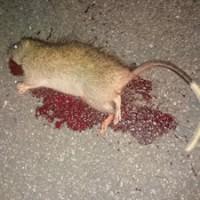 交通事故に遭ったとみられるケナガネズミの死骸=17日、天城町(提供写真)