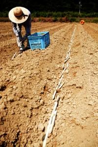 収量確保の面から、適期植え付けの重要性が示されているサトウキビの夏植え作業=14日、奄美市笠利町