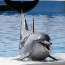 ショーオープニングでステージに上がり、あいさつするイルカのオキちゃん=8月20日、沖縄県国頭郡本部町