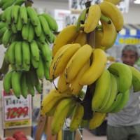 台風被害がなく豊作となっている島バナナ=18日、奄美市名瀬