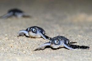 ★志戸桶海岸でウミガメ上陸増写真(ふ化した子ガメ) 丸山